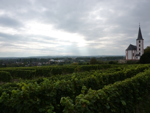 Vineyards at Hochheim am Main